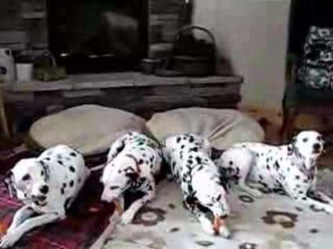 Four dalmatians eating carrots