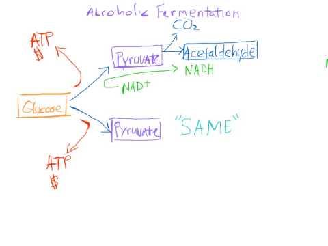 Alcoholic Fermentation Made Easy