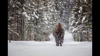 Montana bison hunt outside Yellowstone National Park