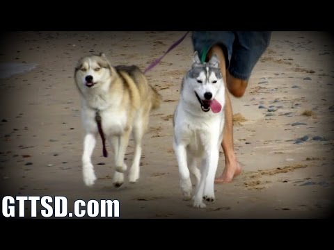 Huskies RUN on the Beach!