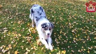 60 DOG TRICKS by Australian Shepherd