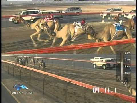 DUBAI CAMEL RACING ( Oct 18 2011 )