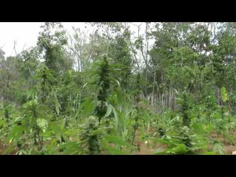 Jamaica 2013 Ganja Fields video