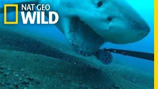 Great White Shark Steals Camera, Goes on Wild Ride   Nat Geo Wild