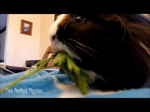 Guinea Pigs + Parsley = ADORABLE!