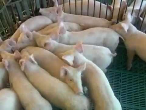 Frigoríficos se preparam para exportar carne de porco para a China