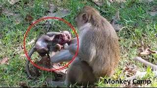 Baby monkey cry because her mom not allow for breastfeeding, Real life of baby monkey, Monkey Camp
