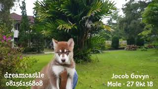 "🦊🦊 For Sale Male Alaskan Malamute Red "" JACOB GAVYN  NEW "" 🐶🐶"