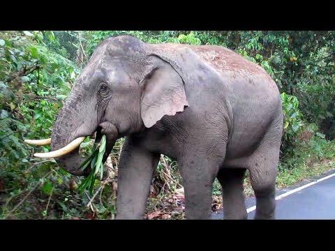 Wild Asian Elephant - Khao Yai NP, Thailand