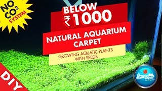 How to Make Aquarium Carpet || Growing Aquatic Plants With Seeds || Planted Tank