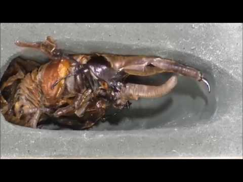 Этапы жизни жука носорога