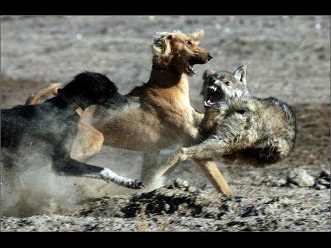Тайган берет волка!