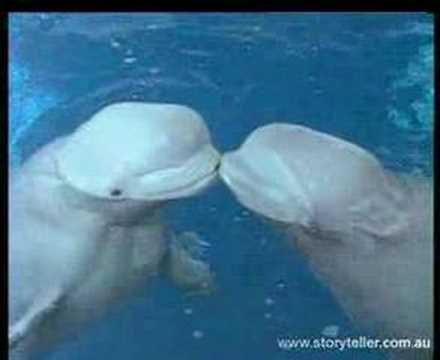 Beluga Whale Video Clip 1 | Storyteller Media