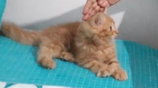 How persian cats play with a ball