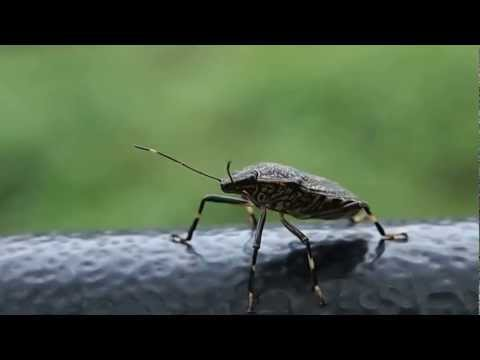 キマダラカメムシとお散歩 Take a walk with a Stinkbug (Erthesina fullo)
