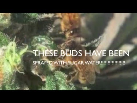 Cannabis and Honey bees   whats the truth about honey bees and marijuana