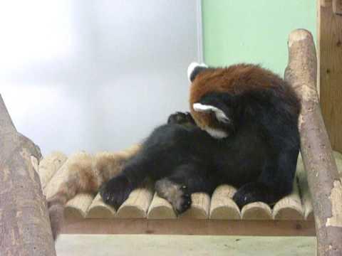 千葉市動物公園のレッサーパンダの毛づくろい♪