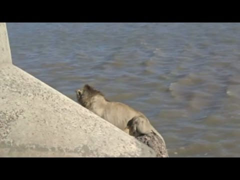 Lion rescued from sea in India