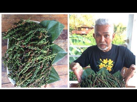การขยายพันธ์ุต้นพริกไทยโดยการปักชำ ทำง่าย ใช้เวลาไม่นาน เหมาะสำหรับเกษตรพอเพียงหรือขายก็ได้ราคา