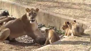 The life of lions: lions and their cubs
