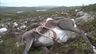 323 Reindeer were killed by lightening