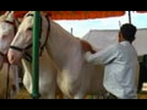 Marwari Horses  Pushkar  Ajmer  Rajasthan video