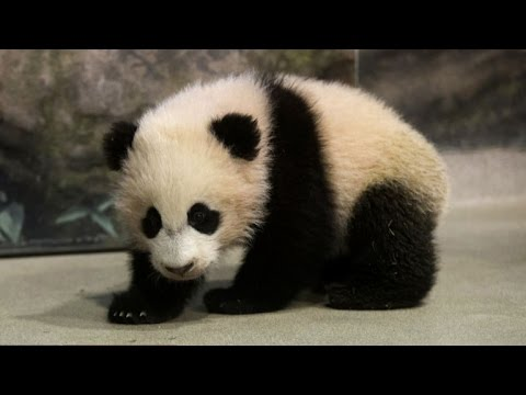 Panda Paradise: Chinese breeding center hopes to protect world panda populations