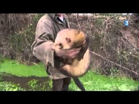 Les furets chassent les lapins en Charente-Maritime