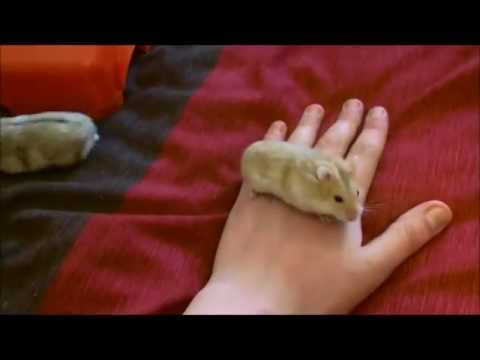 Foster dwarf hamsters
