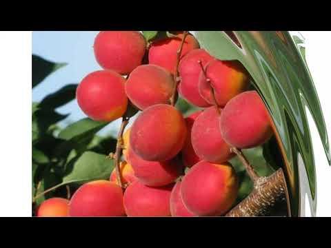 Лучшие сорта персиков 2018 года