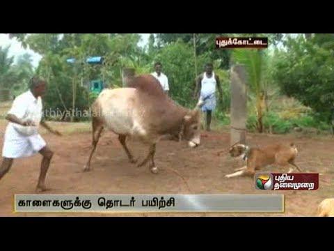 Preparation Of The Bulls For Jallikattu Are On At Pudukottai video