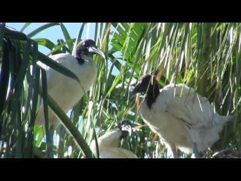 Nest eines Molukkenibis / Nest of an Australian White Ibis (Threskiornis molucca) [4]