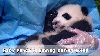 Panda Baby Sews A New Fur Coat In The Dream   iPanda