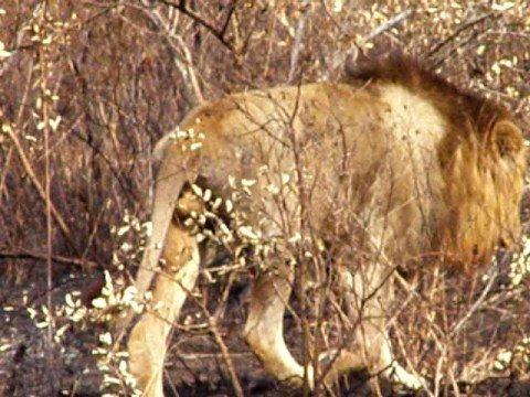 leeuw tijdens safari