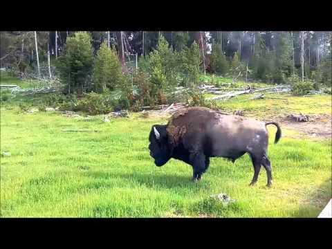 Bison à Mud Volcano - Yellowstone