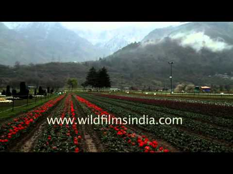 Tulip garden in Srinagar : glory of spring-time Kashmir
