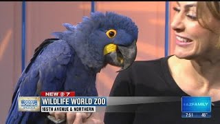 Wildlife World Zoo brings by a hyacinth macaw parrot!