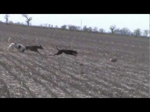 Galgos cazando liebres sastre Sta Fé (Pluma y Piraña) 4