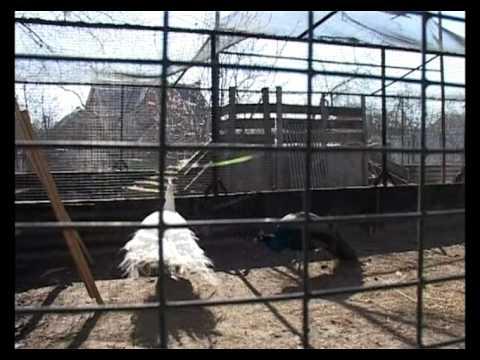 Выращивание фазанов. Живой дом серия 59