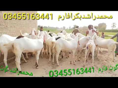 Bakre chote Bade bakriyan Choti buddy har saans ki Mil Jayenge goat farm Dera Ghazi Khan