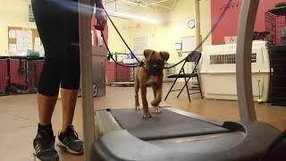 Dog Training   Treadmill Training Rocky   Solid K9 Training Dog Training