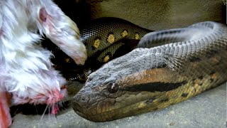 EPIC SNAKE FEEDING VIDEO!! TIPS AND TRICKS for HALLOWEEN!! | BRIAN BARCZYK