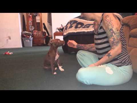 Training your pitbull puppy