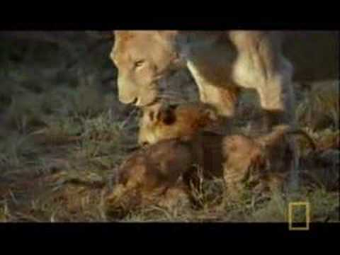 Hyena Scavenges Lion Cub
