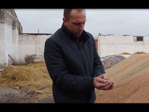 Новосибирские фермеры показали, как гниет непроданное зерно