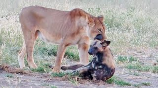 Wild Dog Plays Dead To Escape Lion