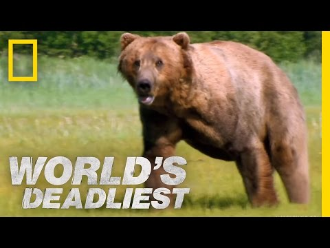 World's Deadliest - Grizzly Bear Attacks Prey