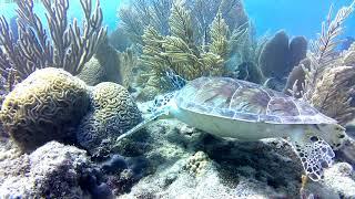 Turtles in Sosua Bay / Dominican Republic