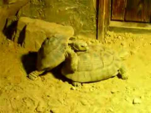 Zoo Sex Tortoise video