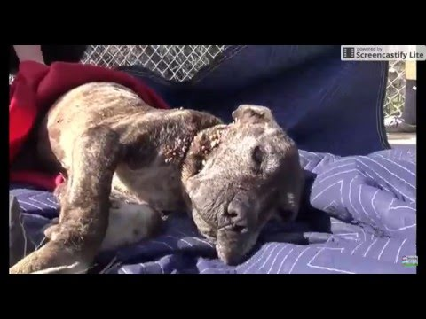 Sad video of dog sick neglected pit bull gets abandoned on bridge left to die . WARNING SAD